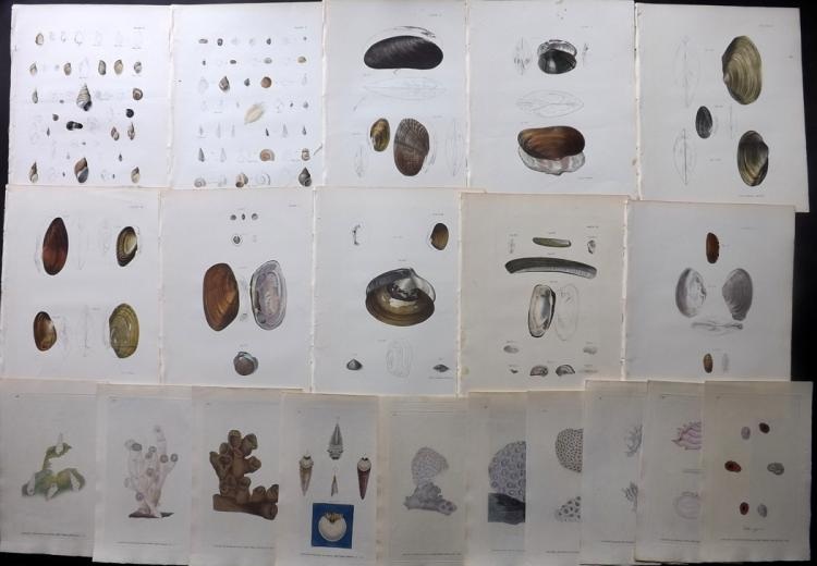 Shells, Coral 1826-43 Lot of 20 Hand Coloured Prints