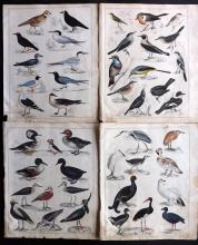 Oken, Lorenz 1843 Group of 4 Hand Coloured Bird Prints