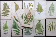 Lowe, Edward 1869 Lot of 13 Botanical Fern Prints