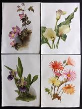 Moon, H. G. 1903 Group of 4 Botanical Prints from Flora and Sylva. Clematis etc