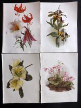 Moon, H. G. 1903 Group of 4 Botanical Prints from Flora and Sylva. Lily etc