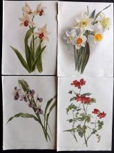 Moon, H. G. 1903 Group of 4 Botanical Prints from Flora and Sylva. Narcissus etc