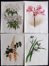 Moon, H. G. 1903 Group of 4 Botanical Prints from Flora and Sylva. Rhododendron etc