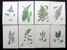 Sowerby, James & John C1870 Lot of 8 Fern Prints