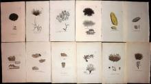 Sowerby, James 1846 Lot of 12 Hand Coloured Aquatic Plants & Lichens