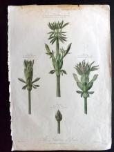 Thornton, Robert John 1803 Large Hand Coloured Botanical Print