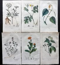 Turpin, Pierre Jean Francois C1815 Group of 6 Botanical Prints from Flore Medicale