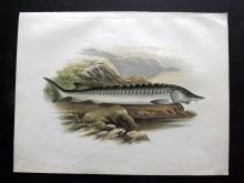 Houghton, Rev. William 1879 Folio Fish Print. Sturgeon