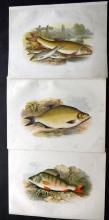Houghton, Rev. William 1879 Group of 3 Fish Prints. Bream, Gudgeon/Barbel, Perch