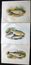 Houghton, Rev. William 1879 Group of 3 Fish Prints. Chub, Roach, Dobule/Rudd