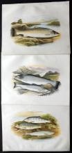 Houghton, Rev. William 1879 Group of 3 Fish Prints. Salmon & Trout