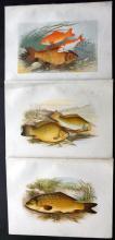 Houghton, Rev. William 1879 Group of 3 Folio fish Prints. Carp