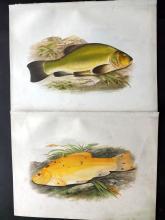 Houghton, Rev. William 1879 Pair of Folio Fish Prints. Tench