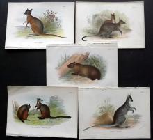 Lloyds's Natural History 1896 Group of 5 Australia Mammals. Tasmania Wombat, Wallabys