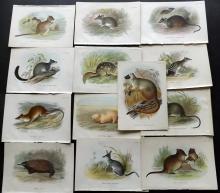 Lloyds's Natural History 1896 Lot of 13 Australia Rodents