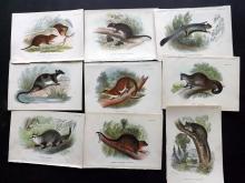 Lloyds's Natural History 1896 Lot of 9 Australia Mammals. Phalanger, Opossum