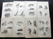 Richardson, John 1862 Lot of 11 Prints.  Mammals - Primates/Bats, Rodents