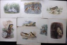 Booth, Edward Thomas 1880's Lot of 8 Large, Rare Hand Coloured Bird Prints
