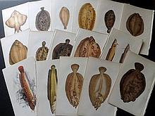 Couch, Jonathan 1860's Lot of 50 Antique Fish Prints