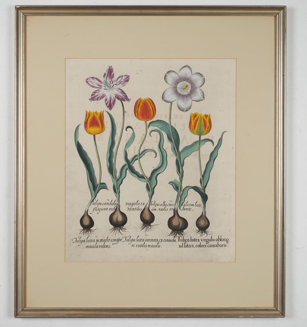 Basilius Besler ( 1561-1629) Tulips