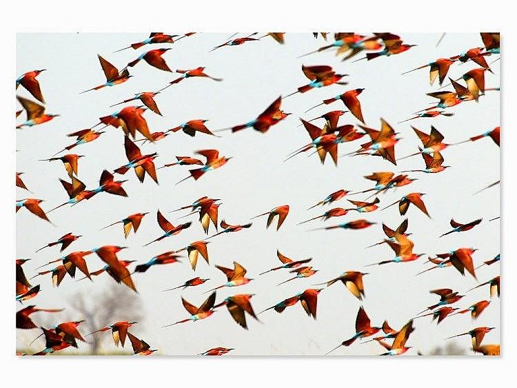 Michael Poliza (b. 1958), 'Carmine Bee-Eaters', Africa, 2006
