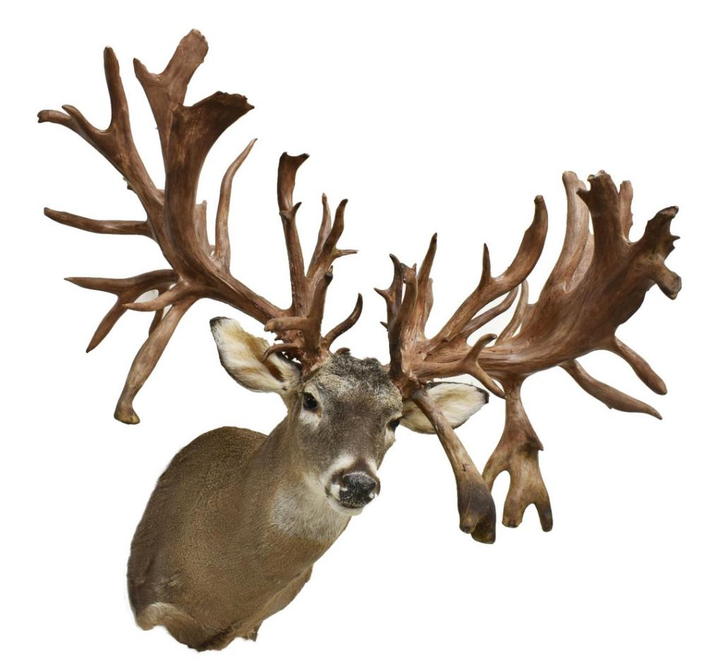 Lot 433: TAXIDERMY WHITE TAIL DEER MOUNT, ABNORMAL ANTLERS