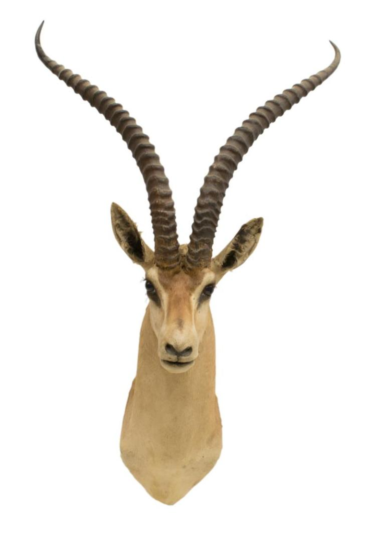 AFRICAN IMPALA ANTELOPE TAXIDERMY MOUNT