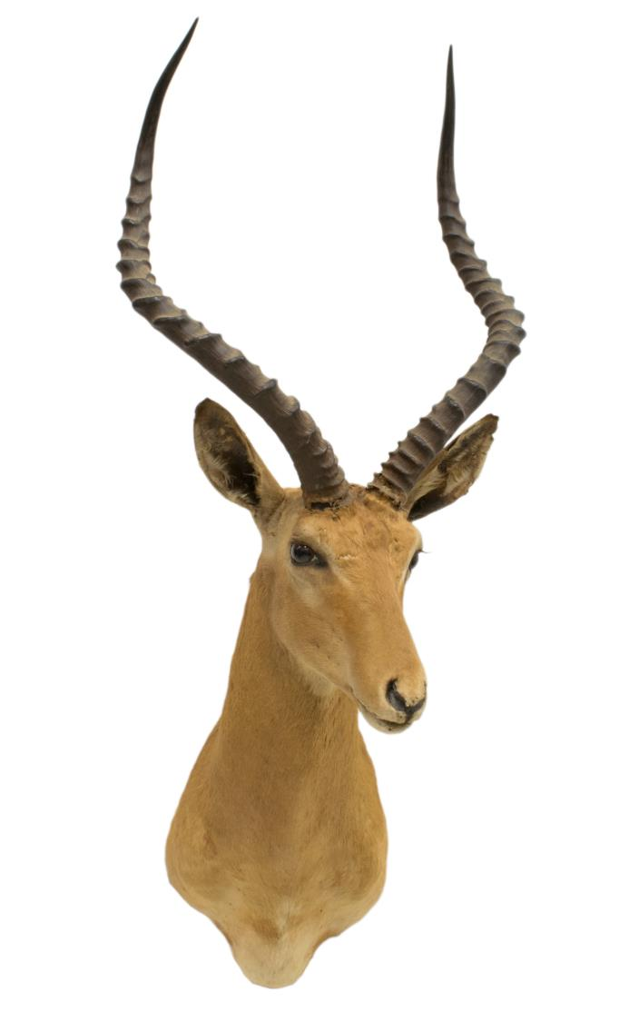 AFRICAN GRANT'S GAZELLE ANTELOPE TAXIDERMY MOUNT