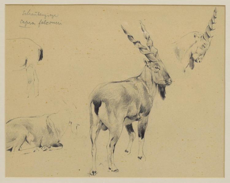 WILHELM KUHNERT (1865-1926) NATURALIST DRAWING
