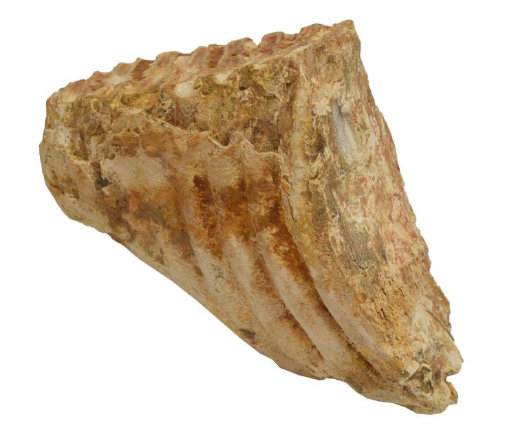 JEFFERSON'S MAMMOTH FOSSILIZED LOWER MOLAR