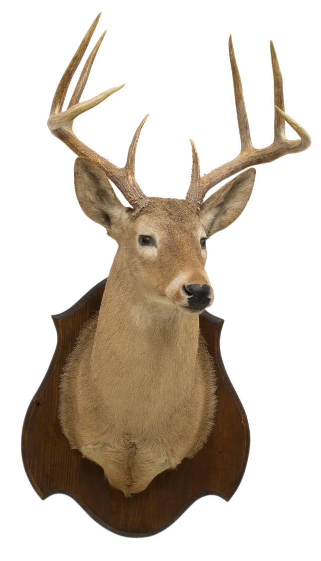 WHITETAIL DEER 8 POINT TAXIDERMY TROPHY MOUNT