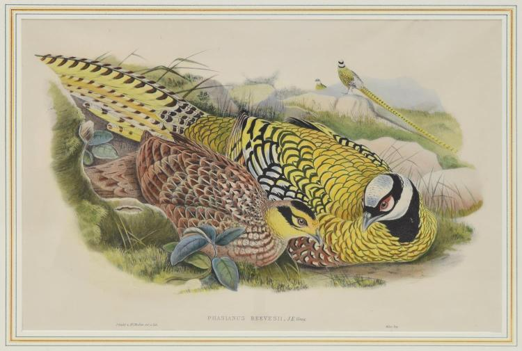 JOHN GOULD 'BIRDS OF ASIA' HAND-COLORED LITHOGRAPH