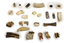 (25) GROUP OF PREHISTORIC MAMMAL FOSSILTEETH/BONES