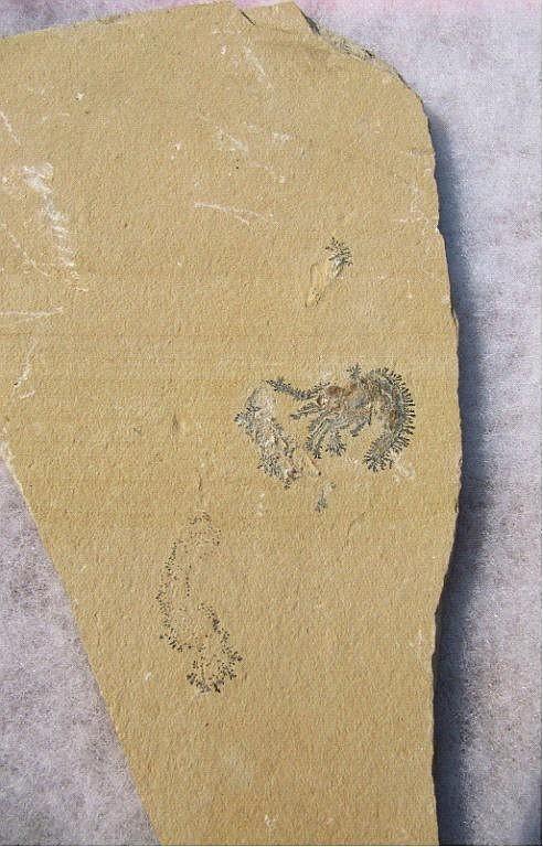 Fossiler Krebs Carpopenaeus