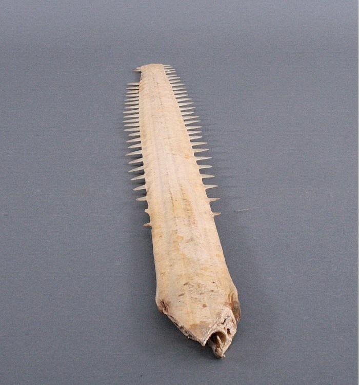 Schwert eines Sägerochens, Sägefisch, vor 1920