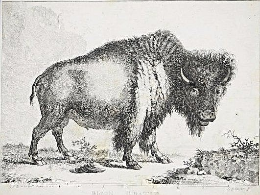 [NORTH AMERICA] BISON