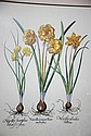 Vintage botanical print of daffodils, 55 x 45cm,