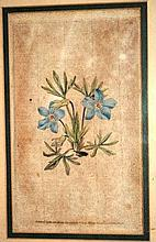 Antique hand coloured botanical engraving