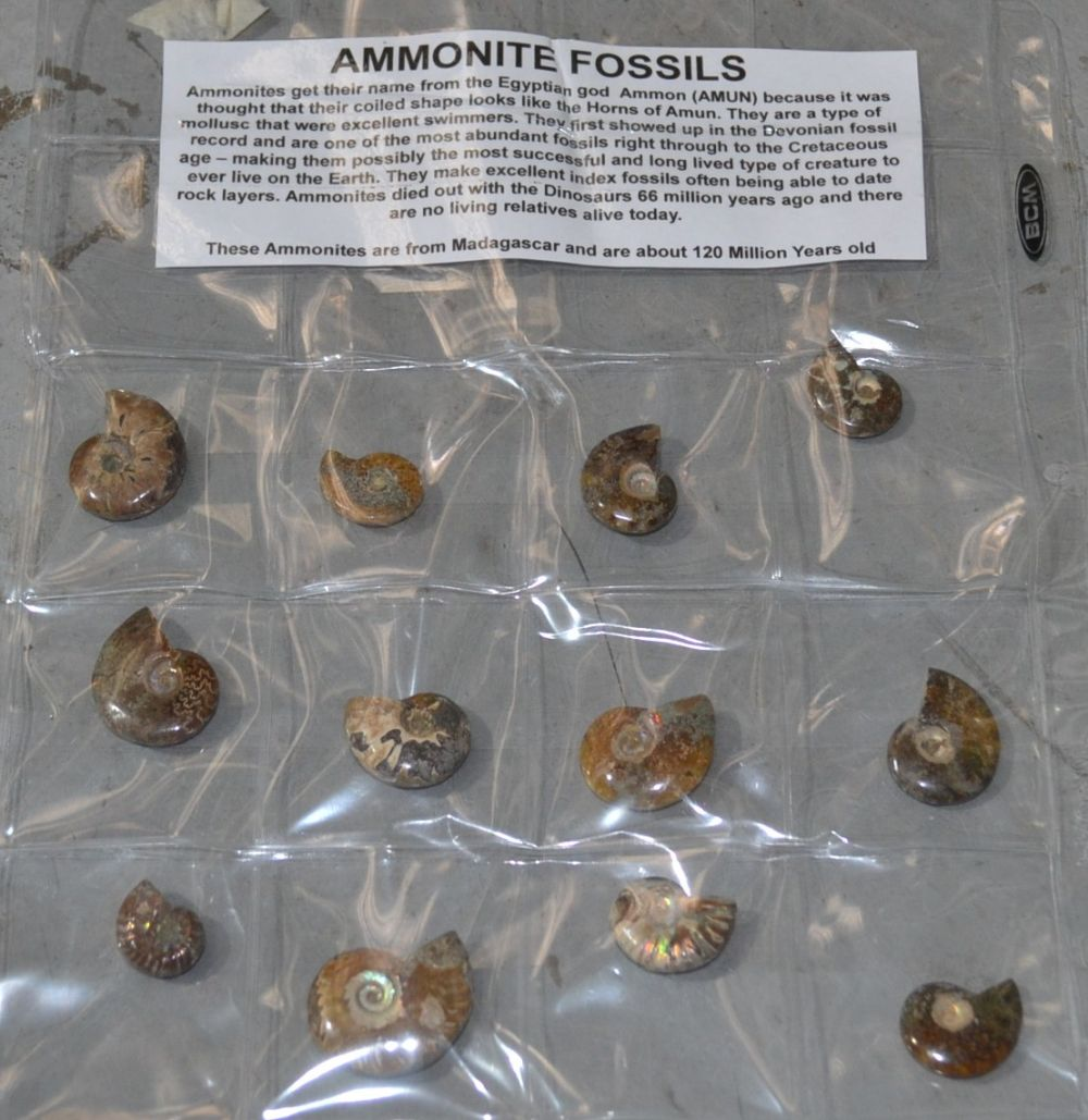 Collection of 12 ammonite fossils