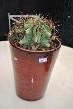 Mature cacti in maroon glazed ceramic pot, 46cm T