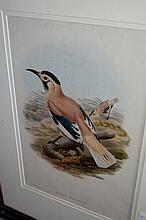 John Gould coloured print of a bird 'Biddulph's