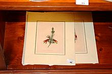 2 antique hand coloured engraving of botanical