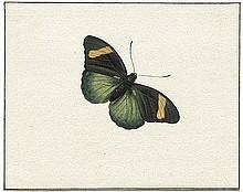 Bronckhorst, Johannes van: Studien zweier Schmetterlinge und einer Zikade