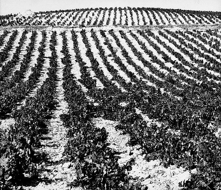 Orlopp, Detlef: Vineyard landscape