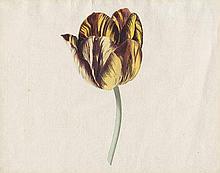 Noorde, Cornelis van: Zwei Papageientulpen