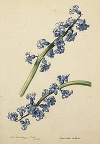 Gruber, Franz Xaver: Blaue Hyazinthe