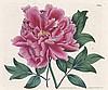 Curtis, William: The Botanical Magazine, William  Curtis, €1,200
