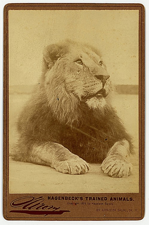 A lion. From Hagenbeck's Trained Animals.