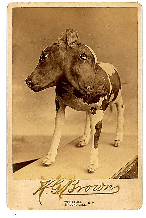 A two-headed calf