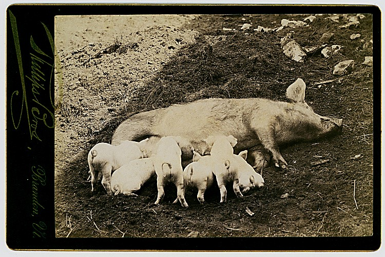 Piglets nursing.
